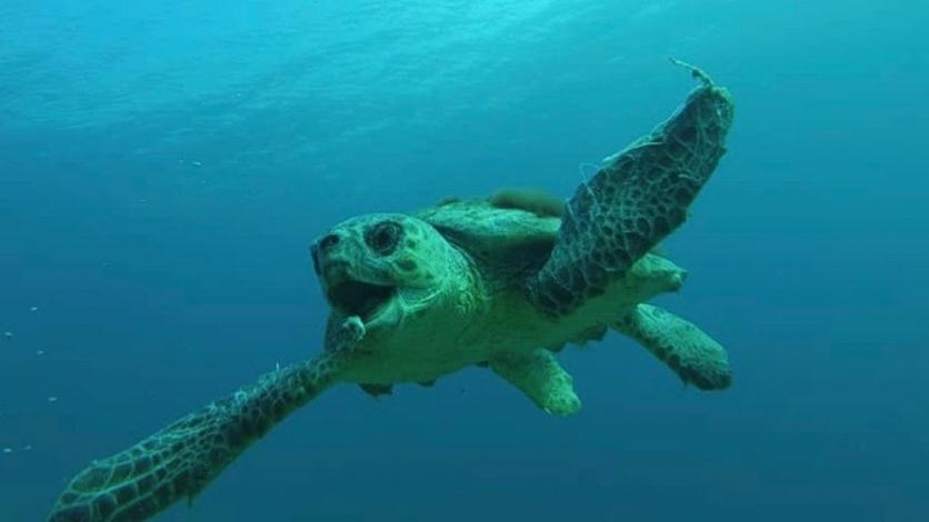 Velika glavata želva plivala s kupačima u Kostreni