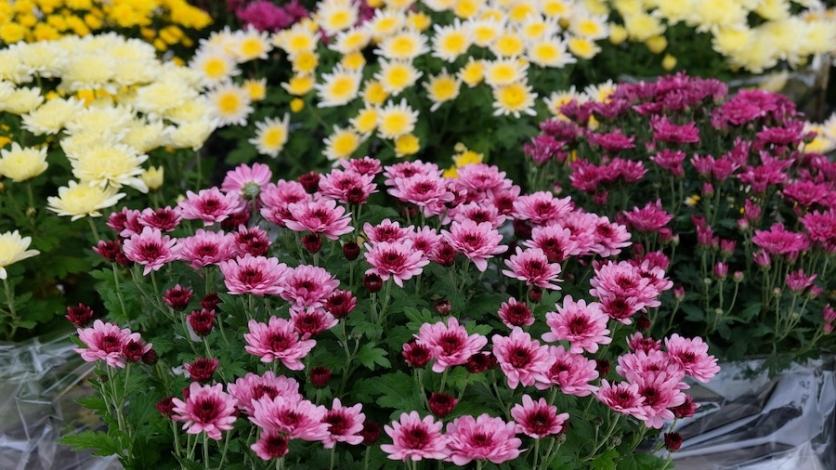 Prodaja cvijeća ove subote u Bakru