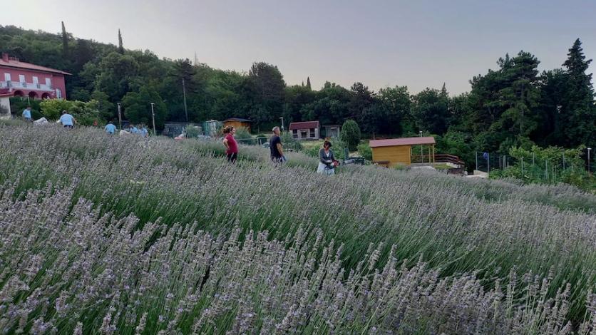 Održana berba lavande u ekološkom parku u Kostreni