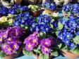 Prodaja cvijeća u Bakru