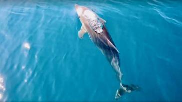 Petnaestak delfina posjetilo Bakarski zaljev