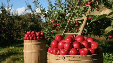 Općina Čavle sufinancira nabavku sadnica voća
